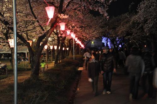 夜桜(城下町高田百万人観桜会)