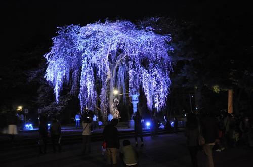 夜桜(城下町高田百万人観桜会