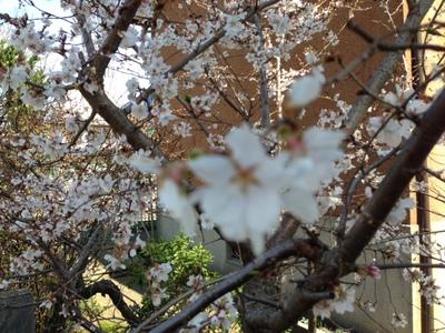 はや咲き桜