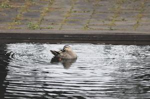プールの鴨ちゃん 1