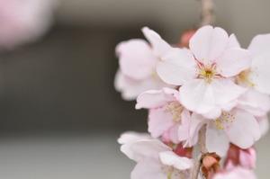 儀明川の桜 1