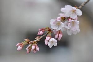 儀明川の桜 2