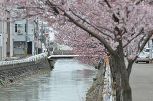 儀明川の桜 3