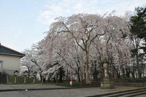 城下町高田百万人観桜会 7