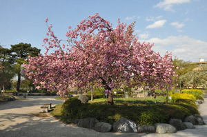 高田公園の八重桜
