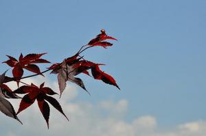 赤い葉と青い空