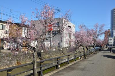 本町小彼岸桜