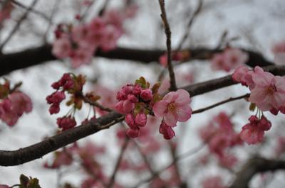 おまけの桜
