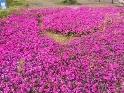 青田川の芝桜