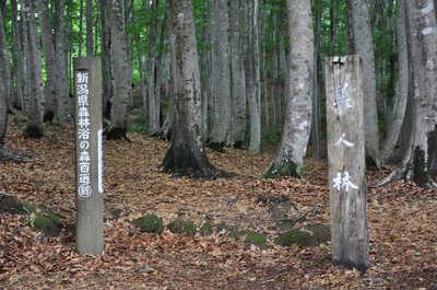 松之山の美人林