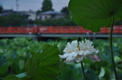 23日の高田公園のハス